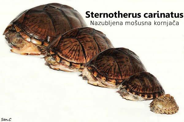 Drzanje nazubljene mosusne kornjace
