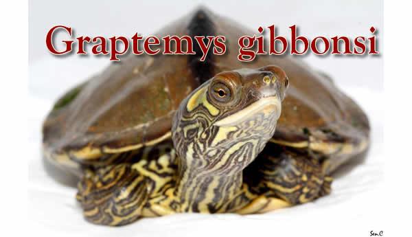 Uskoro opis o texaskim kornjacama
