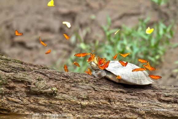 Kornjaca iz roda Podocnemys