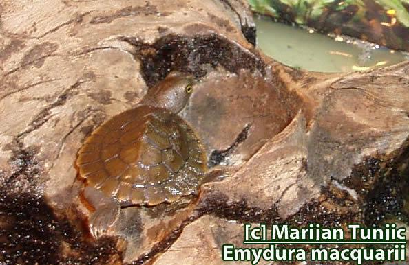 Emydura macquarii