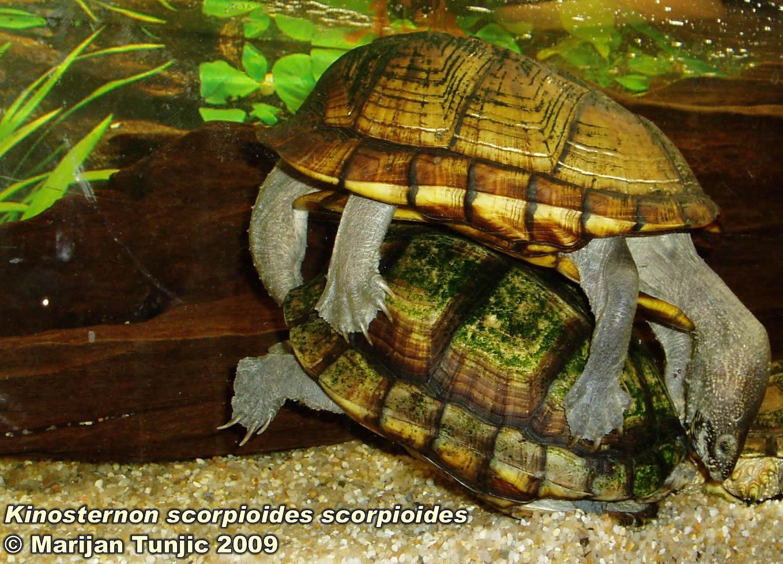 Kinosternon scorpioides scorpioides