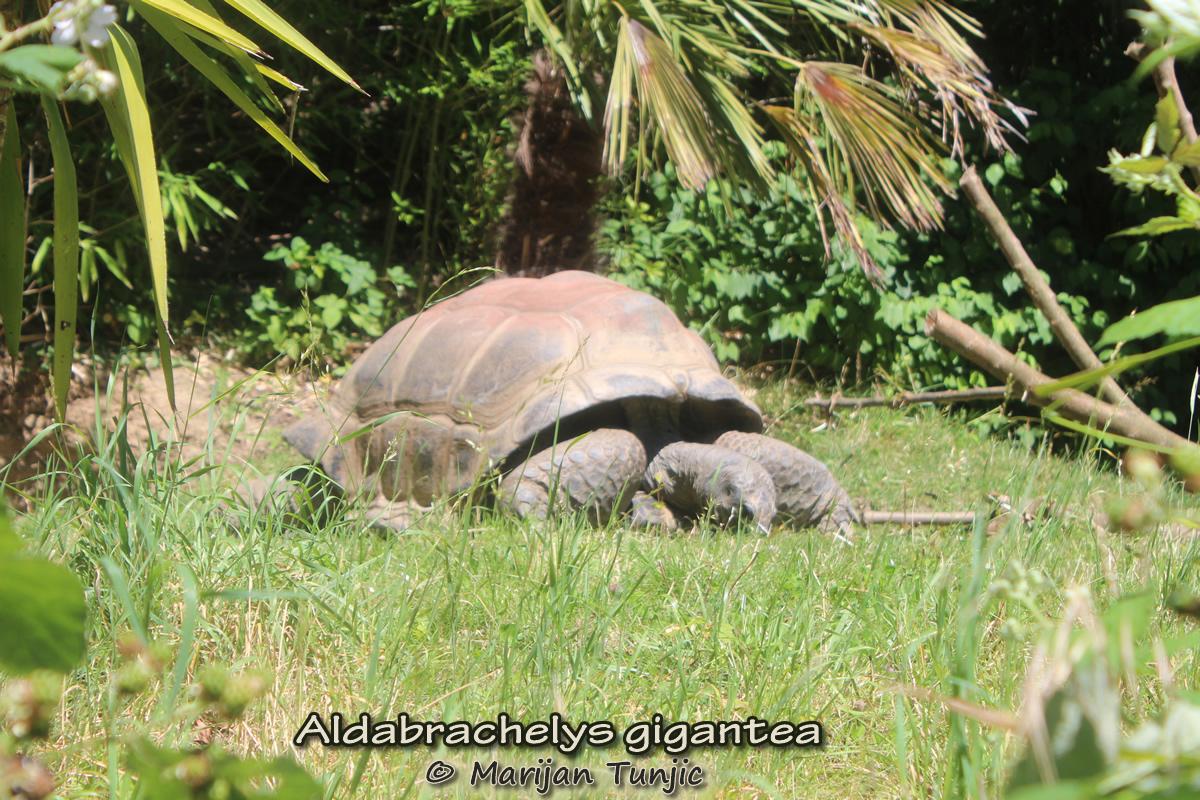 Aldabrachelys gigantea