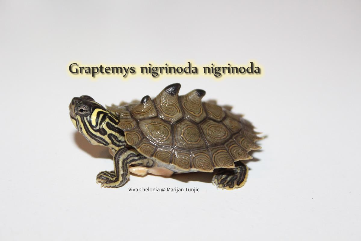 Graptemys nigrinoda nigrinoda