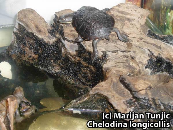 Chelodina longicollis
