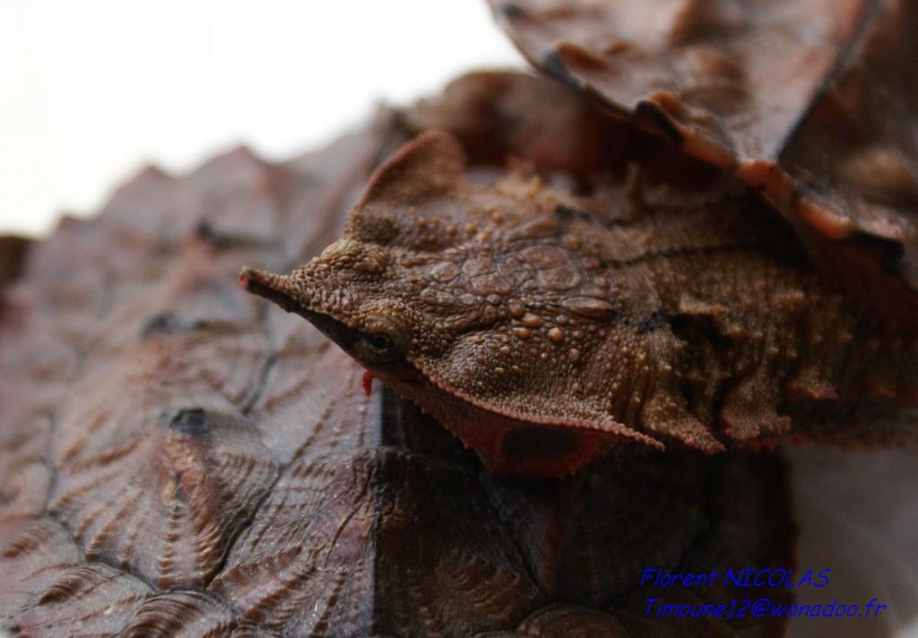 Chelus fimbriatus (Mata Mata)
