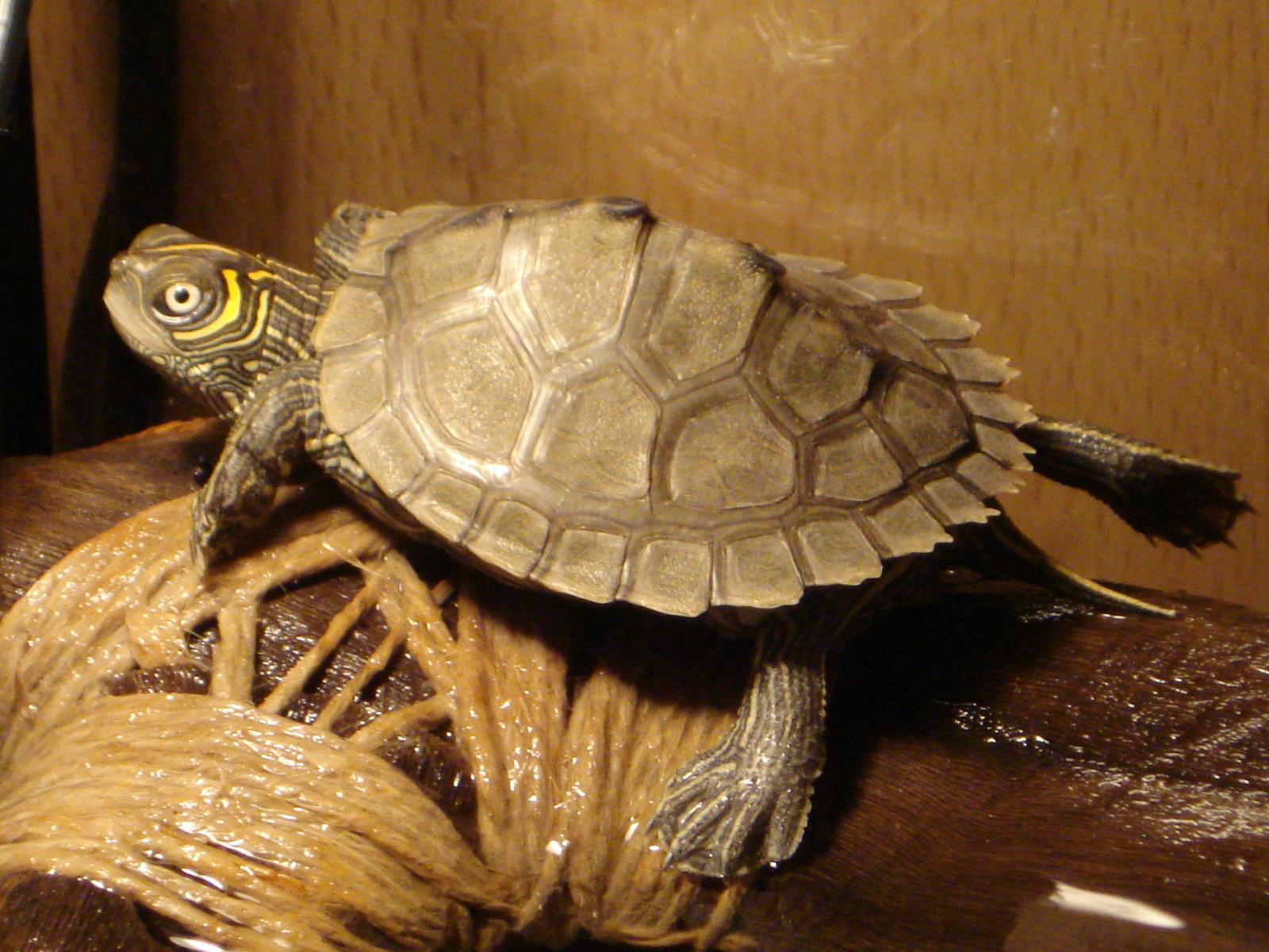 lat. Graptemys pseudogeographica kohni, eng. Mississippi map turtle