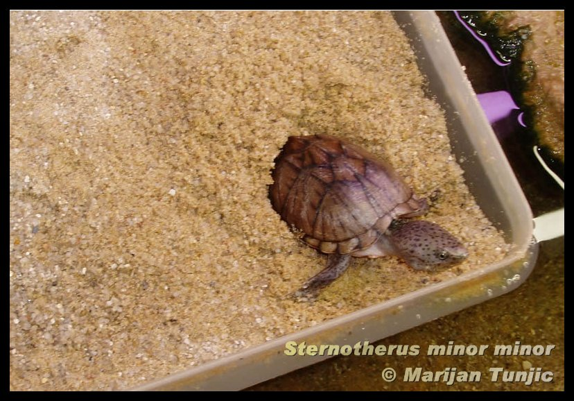 Sternotherus minor minor