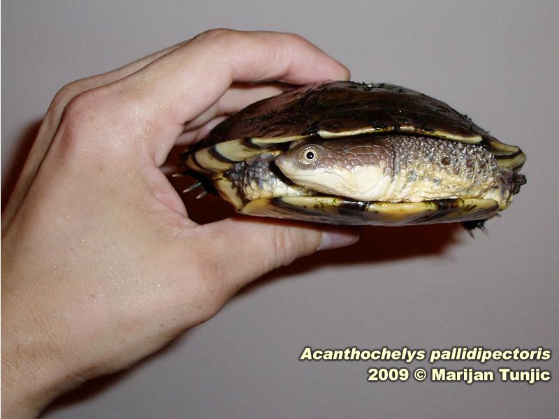 Acanthochelys pallidipectoris