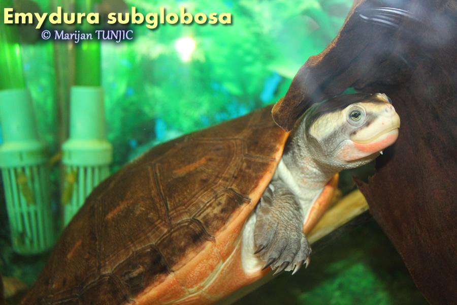 Emydura subglobosa