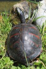 Pseudemys nelsoni (Flordiska ukrasna kornjača)