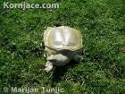 Pelodiscus sinensis